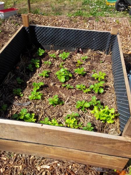 les pommes de terre 2015 le blog fifi ou permaculture la ventarelle. Black Bedroom Furniture Sets. Home Design Ideas